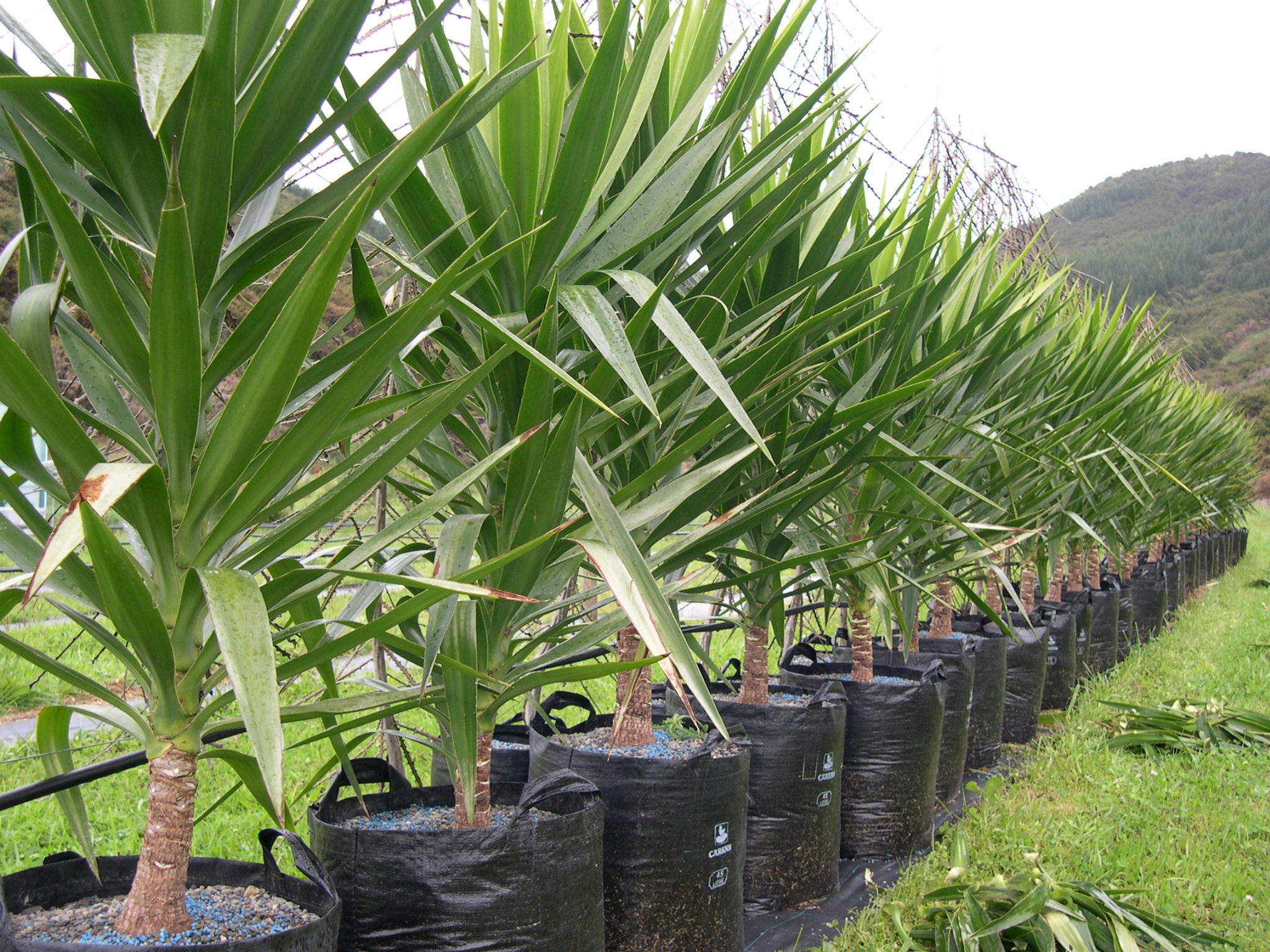 Bekannt Yucca elephantipes – impact plants UX02